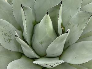 Agave Plant Pattern