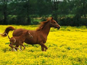 Arabian Foal and Mare Running Through Buttercup Flowers, Louisville, Kentucky, USA by Adam Jones