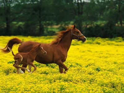 Arabian Foal and Mare Running Through Buttercup Flowers, Louisville, Kentucky, USA
