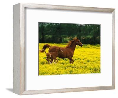 Arabian Foal and Mare Running Through Buttercup Flowers, Louisville, Kentucky, USA
