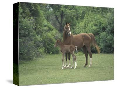 Arabian Mare and Colt, Oldham County, Kentucky, USA