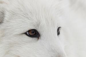 Arctic Fox in snow, Montana, Vulpes Fox. by Adam Jones