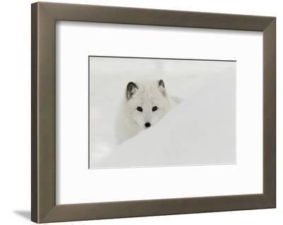 Arctic Fox in snow, Montana.