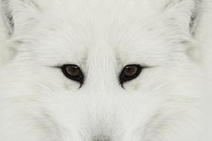 Arctic Fox in snow, Montana. by Adam Jones