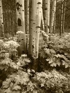 Aspen Trees and Cow Parsnip in White River National Forest, Colorado, USA by Adam Jones