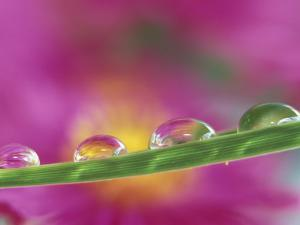 Asters in Water Droplets by Adam Jones