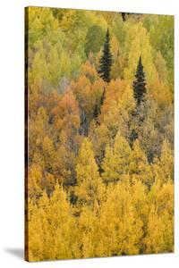 Autumn aspen tree pattern on mountain slope, Crystal Lake, Ouray, Colorado by Adam Jones