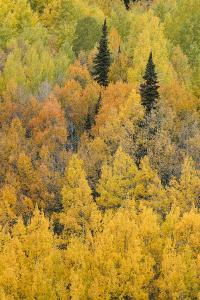 Autumn aspen tree pattern on mountain slope, Crystal Lake, Ouray, Colorado by Adam Jones