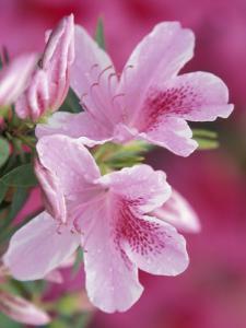 Azalea Blossom, Charleston, South Carolina, USA by Adam Jones
