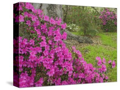 Azalea Blossoms in Spring, Magnolia Plantation, Charleston, South Carolina, Flower