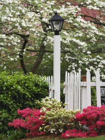 Azaleas and Flowering Dogwood Tree Along White Picket Fence