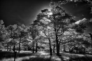 Backlit trees in black and white infrared view along the Blue Ridge Parkway, North Carolina by Adam Jones