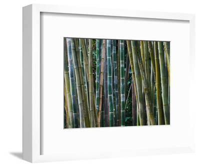 Bamboo Forest, Selby Gardens, Sarasota, Florida, USA