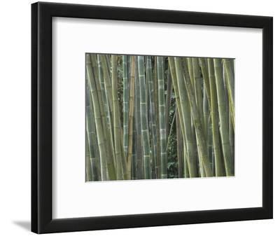 Bamboo Stems, Phyllostachys Atrovaginata