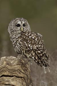 Barred Owl, Montana by Adam Jones