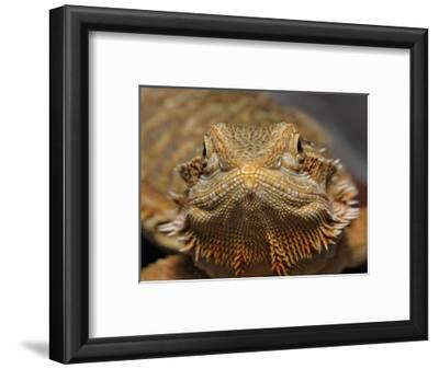 Bearded Dragon, Pogona Vitticeps, Captive