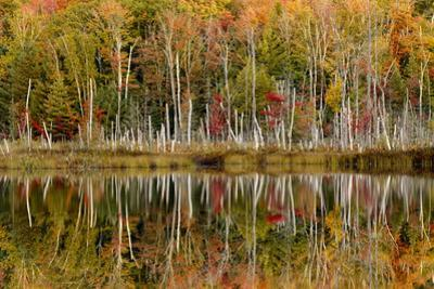 Birch Trees and Autumn Colors Reflected on Red Jack Lake, Upper Peninsula of Michigan by Adam Jones