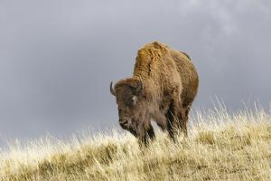 Bison in Fall, Lamar Valley, Yellowstone National Park, Wyoming by Adam Jones