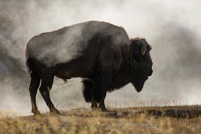 Bison in Mist, Upper Geyser Basin Near Old Faithful, Yellowstone National Park, Wyoming