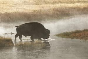 Bison on foggy morning along Madison River, Yellowstone National Park, Montana, Wyoming by Adam Jones