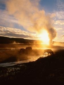 Bison Silhouetted at Sunrise as Old Faithful Erupts, Yellowstone National Park, Wyoming, USA by Adam Jones