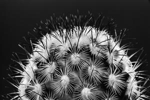 Black and White Pattern of Small Cactus Spines by Adam Jones
