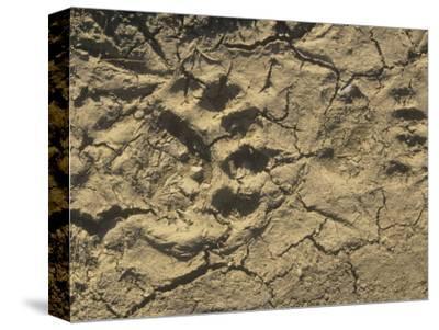 Black Bear Footprints in Mud, Ursus Americanus, North America