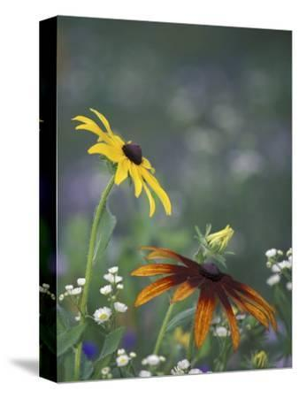 Black-Eyed Susan and Gloriosa Daisy, Oldham County, Kentucky, USA