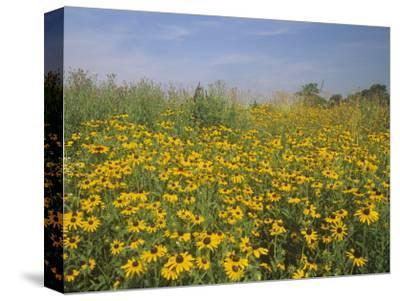 Black-Eyed Susans, Rudbeckia Hirta, in a Meadow, Eastern USA