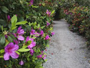 Blooming Rhododendrons Along a Pathway, Magnolia Plantation, Charleston, South Carolina, USA by Adam Jones