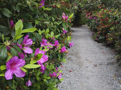 Blooming Rhododendrons Along a Pathway, Magnolia Plantation, Charleston, South Carolina, USA