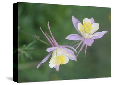Blue Columbine, Aquilegia Corerulea, Colorado State Flower, Gunnison National Forest, USA