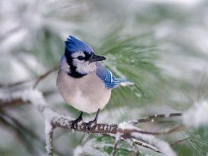Blue Jay by Adam Jones