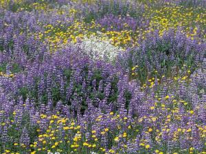 Blue Pod Lupin and Dandelions, Crescent City, California, USA by Adam Jones