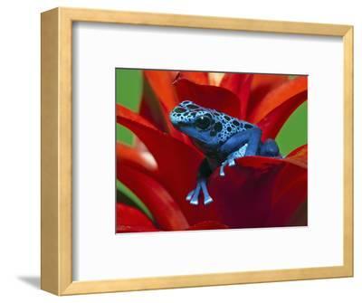 Blue Poison Dart Frog (Dendrobates Azureus), Reclassified As, (Dendrobates Tinctorius), Surinam