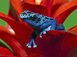 Blue Poison Dart Frog, Surinam by Adam Jones