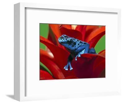 Blue Poison Dart Frog, Surinam