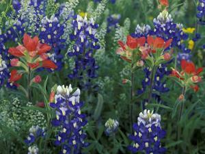 Bluebonnets and Paintbrush in Bloom, Hill Country, Texas, USA by Adam Jones