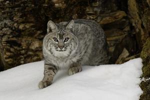 Bobcat in snow, Montana by Adam Jones