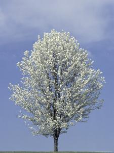 Bradford Pear in Full Bloom, Louisville, Kentucky, USA by Adam Jones