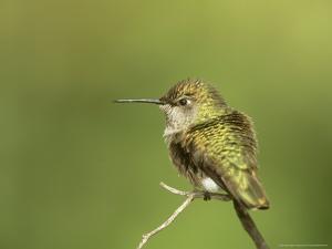 Broad-Tailed Hummingbird, Selasphorus Platycercus Female by Adam Jones