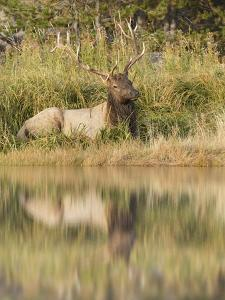 Bull Elk Along Madison River, Yellowstone National Park, Wyoming by Adam Jones