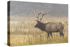 Bull Elk on foggy morning along Madison River, Yellowstone National Park, Montana, Wyoming by Adam Jones