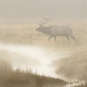 Bull Elk on foggy morning along Madison River, Yellowstone National Park, Montana, Wyoming by Adam Jones