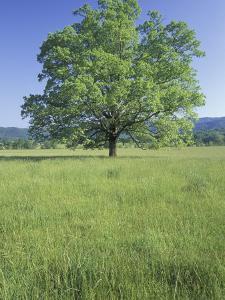 Bur Oak in Grassy Field, Great Smoky Mountains National Park, Tennessee, USA by Adam Jones