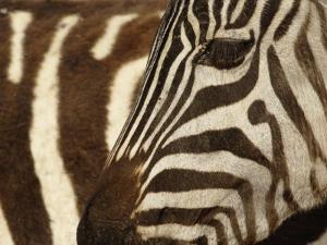 Burchell's Zebra pattern of stripes, Ngorongoro Crater, Tanzania by Adam Jones