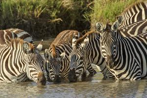 Burchell's zebras drinking at sunrise, Masai Mara, Kenya, Africa by Adam Jones