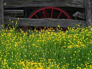 Buttercups and Wagon Wheel, Pioneer Homestead, Great Smoky Mountains National Park, North Carolina by Adam Jones