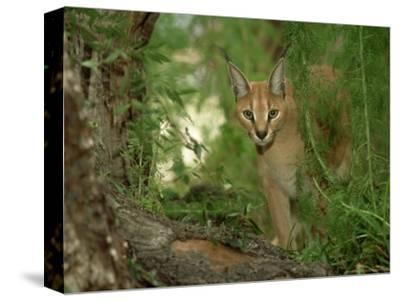 Caracal or African Lynx, Felis Caracal Native to Africa