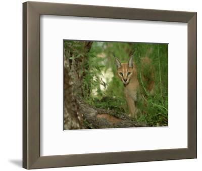 Caracal or African Lynx, Felis Caracal Native to Africa